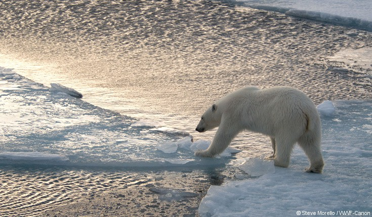 polar_bear_crossing_the_ice